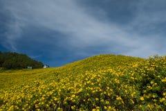Mexicaans zonnebloemonkruid op de heuvel Royalty-vrije Stock Afbeelding