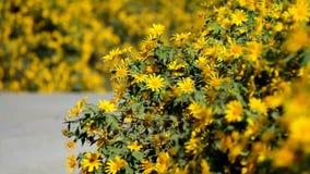 Mexicaans zonnebloemonkruid (Tithonia-diversifolia) stock video