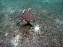 Mexicaanse baai 10 van Zeeschildpad onderwater zwemmende Acumal Royalty-vrije Stock Afbeelding