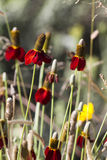 Mexicaanse Hoed of Prairie Coneflower, kolom Ratibida Stock Afbeeldingen