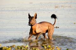 Mexicaanse kale hond - Xochointcuintle royalty-vrije stock afbeeldingen