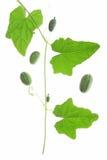 Mexicaanse MiniKomkommer (scabra Melothria) royalty-vrije stock afbeeldingen