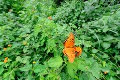 Mexicaanse vlinder Stock Afbeelding