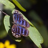 Mexicaanse Vlinder Bluewing (ethusa Myscelia) Stock Foto