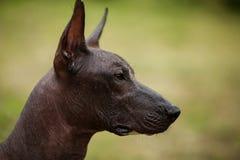 Mexical无毛的狗 免版税库存图片