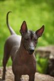 Mexical无毛的狗 免版税库存照片