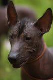 Mexical bezwłosy pies Zdjęcia Stock