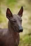 Mexical hårlös hund Royaltyfri Foto