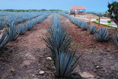 Mexican agave plantation Royalty Free Stock Photo