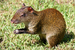 Mexican Agouti Stock Photo