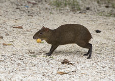 A Mexican Agouti having a meal on fallen fruit Stock Image
