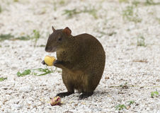 A Mexican Agouti having a meal on fallen fruit Stock Images