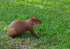 Mexican Agouti Royalty Free Stock Image
