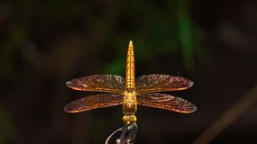 Mexican Amberwing Dragonfly Royalty Free Stock Photo