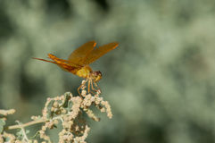 Mexican Amberwing Royalty Free Stock Photo