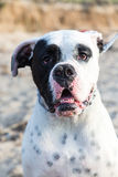 Mexican American Bulldog at the beach Royalty Free Stock Images