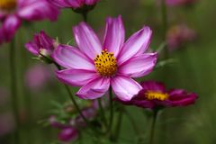 Mexican aster (Cosmos bipinnatus) Stock Photo