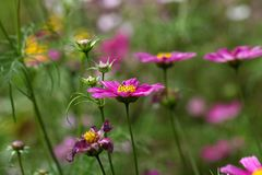 Mexican aster (Cosmos bipinnatus) Stock Images
