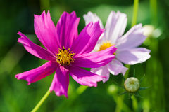 Mexican Aster Royalty Free Stock Image