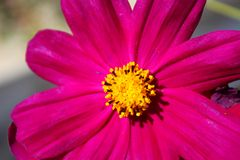 Mexican Aster (Cosmos) bright pink flower (macro) Royalty Free Stock Images