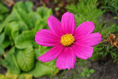 Mexican aster flower Stock Image