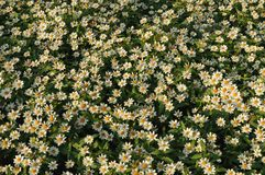 Mexican aster flowers Royalty Free Stock Photo