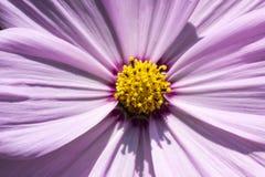 Mexican Aster, Garden Cosmos, Cosmos bipinnatus, summer plant Royalty Free Stock Photo
