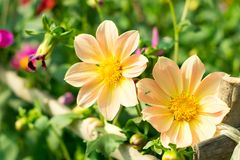 Free Mexican Aster Or Garden Cosmos. Dahlia. Cosmos Bipinnatus, Is A Medium Sized Sun Loving Herbaceous Plant Native To Arizona US. Royalty Free Stock Image - 149805576