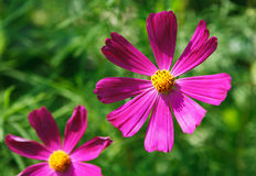 Mexican Aster pink flower or Garden Cosmos, closeup outdoors Royalty Free Stock Photo