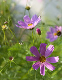 Mexican aster in sunlight Royalty Free Stock Photo