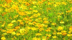 Mexican aster yellow cosmos sulfur flower garden stock video footage