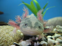 The Mexican axolotl. An young Mexican axolotl and green plant Royalty Free Stock Photography