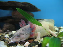 The Mexican axolotl. An young Mexican axolotl and green plant Stock Photography