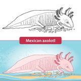 Mexican axolotl before transformation. Ambystoma mexicanum. Stock Photos