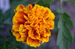 Mexican Aztec Marigold Tagetes Erecta closeup. Tagetes erecta, the Mexican marigold or Aztec marigold, is a species of the genus Tagetes native to Mexico royalty free stock photos