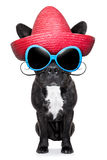 Mexican bad dog. French bulldog with a red mexican sombrero royalty free stock photos