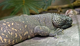 Free Mexican Beaded Lizard 2 Royalty Free Stock Photography - 12573877