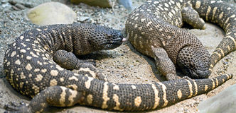 Mexican beaded lizard 4 Royalty Free Stock Image