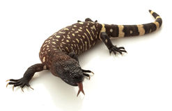 Mexican Beaded Lizard Stock Images