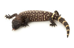 Mexican Beaded Lizard Royalty Free Stock Images