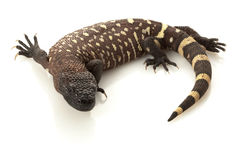 Mexican Beaded Lizard Stock Photo