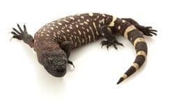 Mexican Beaded Lizard stock photo