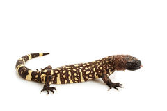 Mexican Beaded Lizard royalty free stock photography