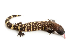 Mexican Beaded Lizard. (Heloderma horridum) isolated on white background Royalty Free Stock Photo
