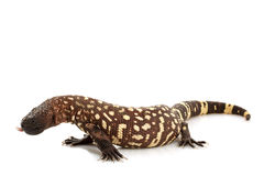 Mexican Beaded Lizard Stock Photos