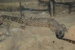 Mexican Beaded Lizard. The Mexican beaded lizard Heloderma horridum is a species of lizard in the family Helodermatidae, one of the two species of venomous royalty free stock images