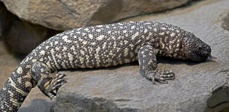 Mexican beaded lizard 1 Stock Photography