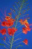 Mexican bird of paradise Stock Images