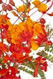 Mexican Bird of Paradise (Caesalpinia   pulcherrim. Mexican Bird of paradise flower (Caesalpinia Royalty Free Stock Photos