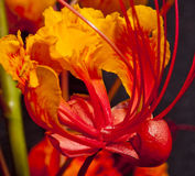 Mexican Bird of Paradise (Caesalpinia   pulcherrim Stock Photography